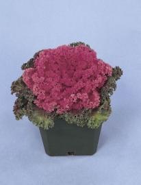 Brassica gekruldbladig - EKA005