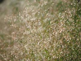 Agrostis - GAA010