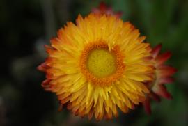 Helichrysum - EHA360