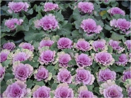 Brassica gekarteldbladig - EKA008