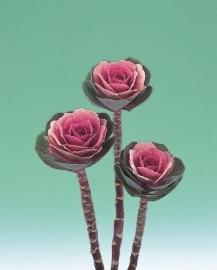 Brassica Sierkool (snij) - EKA022