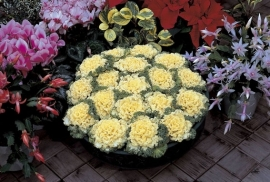 Brassica gekruldbladig - EKA006