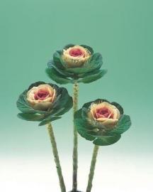 Brassica Sierkool (snij) - EKA019