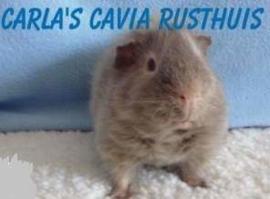 Carla's cavia rusthuis (ontvangen)