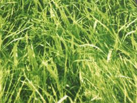 katoen gras