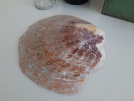 Grote platte schelp met parelmoer