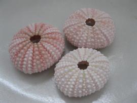 Zee-egel roze   N3412