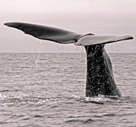 Whaletail 260x279