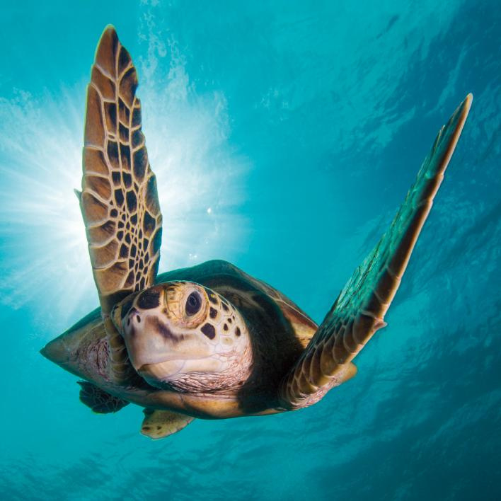 Card Sea Turtle