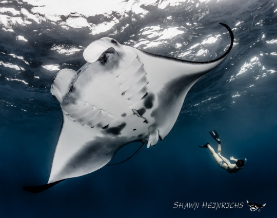 Manta Ray http://www.opsociety.org/blog/
