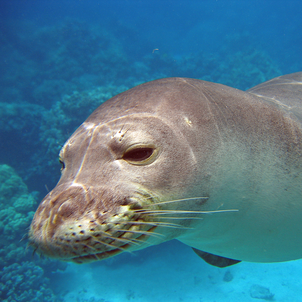 4Ocean Hawaiian Monk Seal