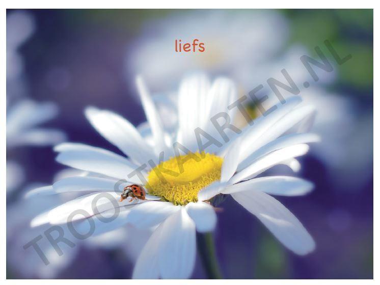 Lieveheersbeestje (2804)