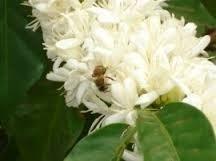 Sulawesi Kalossi