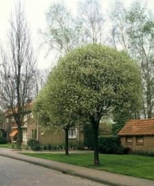 Prunus x eminens umbraculifera - Bolprunus (sierkers)