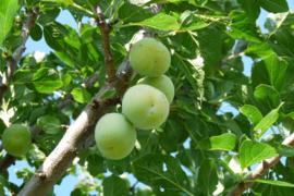Prunus domestica 'Reine Claude Verte'