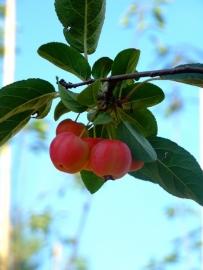 Malus x robusta 'Red Sentinel' / sierappel