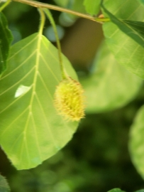 Fagus sylvatica / Groene beuk