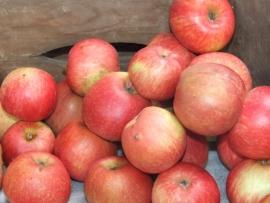"""Malus d. """"Dijkmanszoet"""" / zoete appel"""