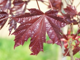 Acer platnoides 'Royal Red' / Rode Esdoorn