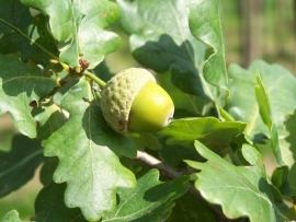 Quercus Robur `Fastigiata` / Zuileik