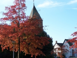 Quercus Palustris / moeraseik