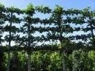 platanus Orientalis / Oosterse plataan