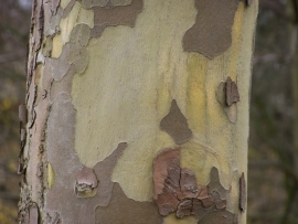 Platanus acerifolia / Plataan