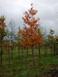 Liquidambar stiraciflua / Amberboom