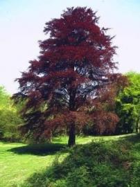 Fagus sylvatica 'Purpurea' / Rode beuk