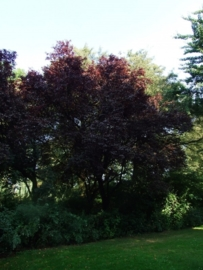 Prunus cerasifera `Nigra` / Roodbladige sierkers