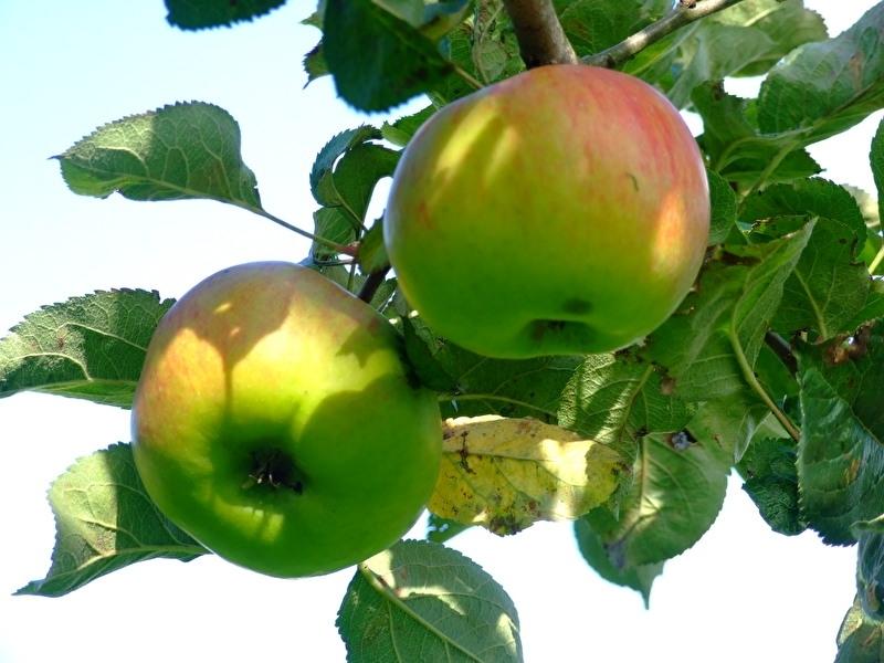 Malus d. `Bramley`s Seedling` / bakappel / moesappel