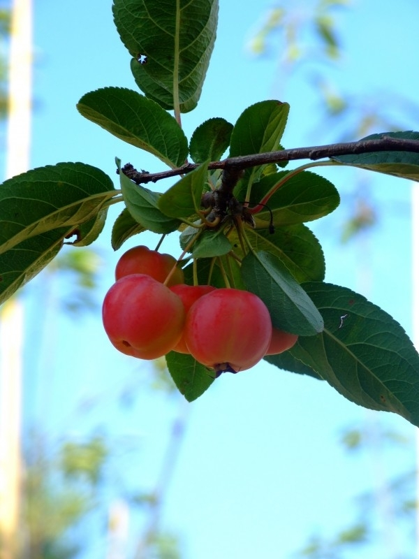 Malus x robusta 'Red Sentinel' / sierappel