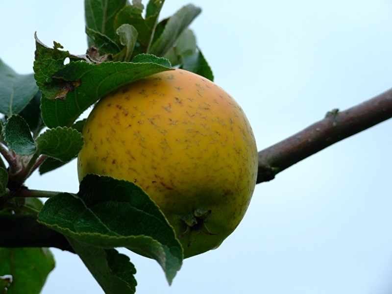 Malus d. 'Ananasreinette'
