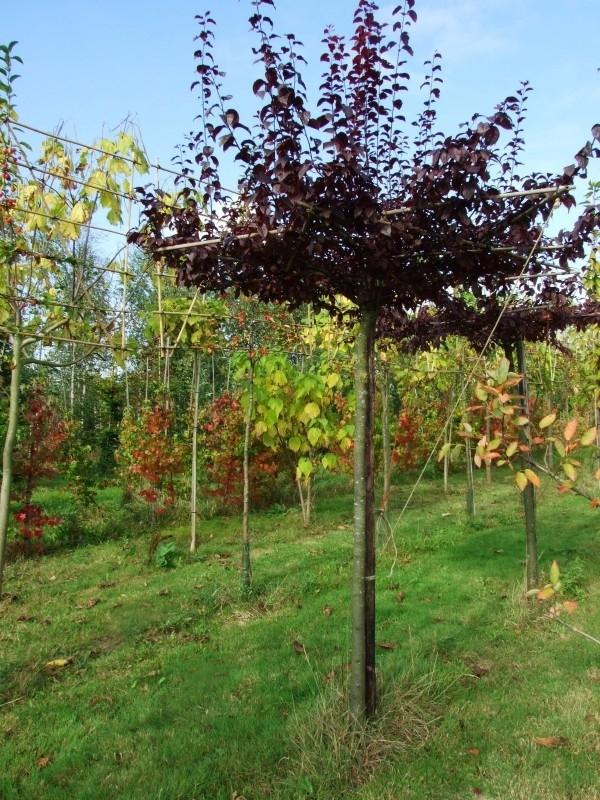 Prunus Nigra / Als dak geleide roodbladige sierkers