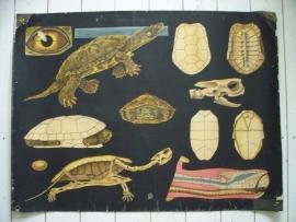 Antieke schoolplaat met de schildpad