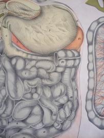 Oude anatomische schoolplaat ( spijsvertering) SOLD
