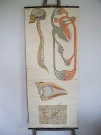 Oude anatomische schoolplaat ( lichaam)