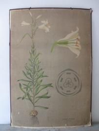 Oude botanische schoolplaat met bloemen SOLD