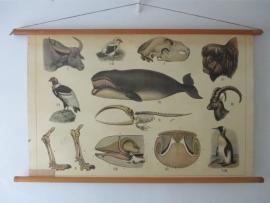 Antieke schoolplaat met walvis /skelet SOLD