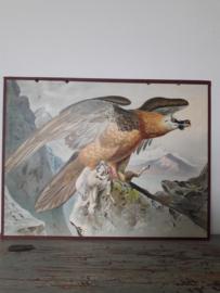 Antieke schoolplaat met de roofvogel SOLD