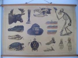 Oude schoolplaat met dieren en skelet SOLD