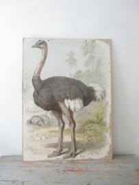 Oude schoolplaat met struisvogel SOLD