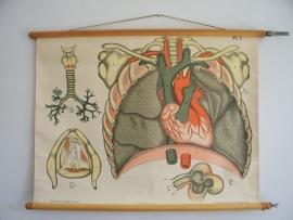 Oude anatomische schoolplaat ( ademhaling) SOLD
