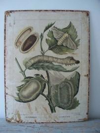 Antieke schoolplaat met de vlinder  / zijderups SOLD