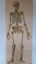 Oude anatomische schoolplaat ( skelet) SOLD