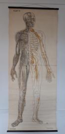 Oude anatomische schoolplaat ( zenuwen) SOLD