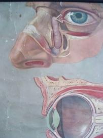 Oude anatomische schoolplaat OOG SOLD
