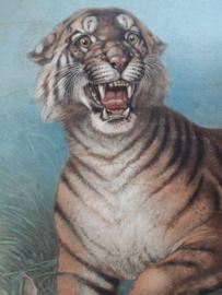 Oude schoolplaat met tijger