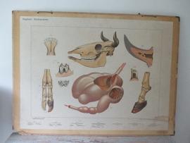 Antieke schoolplaat met /schedel