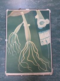 Oude botanische schoolplaat